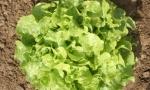 LETTUCE Salad Bowl RE2630