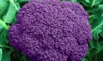 CAULIFLOWER Purple of Sicily RE1105