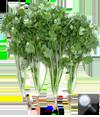 Coriander Slow Bolting Green Paradise